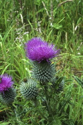 Scottish Thistle; photo from Flickr.com.  Did we mention the painful spines?